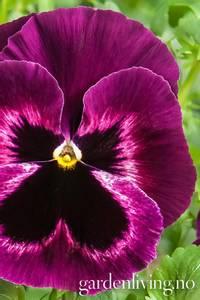 Bilde av Stemorsblomst 'Cello Neon Purple' F1 - Viola