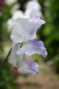 Bilde av Blomsterert 'Betty Maiden' - Lathyrus odoratus