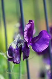 Bilde av Blomsterert 'Lord Nelson' - Lathyrus odoratus