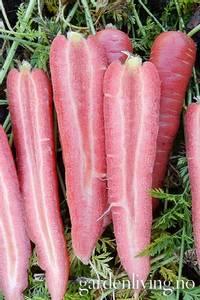 Bilde av Gulrot 'Ruby Prince' F1 - Daucus carota