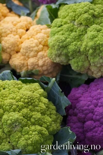 Blomkål 'Kaleidoscope Mixed' - Brassica oleracea