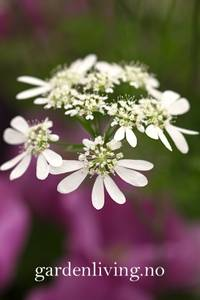 Bilde av Kniplingskjerm - Orlaya grandiflora