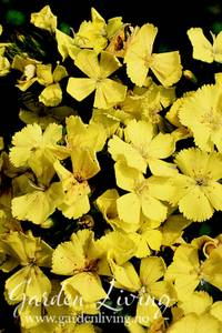 Bilde av Nellik, Svovel- 'Yellow Harmony' - Dianthus knappii