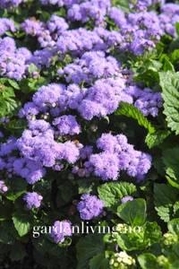Bilde av Blåkorg 'Blue Mink' - Ageratum houstonianum