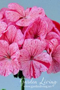 Bilde av Pelargonium 'Raspberry Ripple' F1