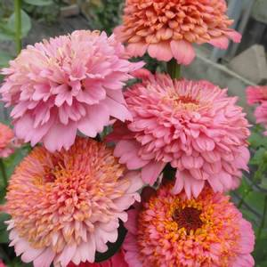 Bilde av Sinnia 'Cupcakes Pink Shades' - Zinnia elegans