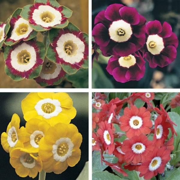 Aurikkel 'Elite Garden Mixed' - Primula auricula