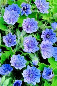 Bilde av Storkenebb, bråte  'Orchid Blue' - Geranium bohemicum