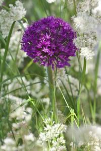 Bilde av Kirgisløk 'Purple Sensation' - Allium aflatunense' - 5 stk