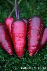 Bilde av Gulrot 'Cosmic Purple'- Daucus carota