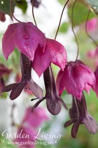 Bilde av Blodbeger 'Purple Bell Vine' - Rhodochiton atrosanguineus