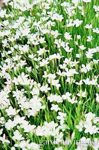 Bilde av Nellik, eng 'Albus' - Dianthus deltoides