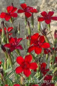 Bilde av Nellik, eng 'Flashing Lights' - Dianthus deltoides