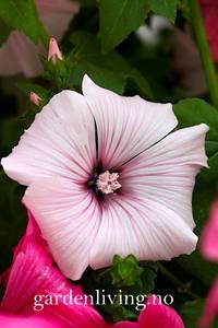 Bilde av Hagepoppelrose 'Silver Cup' - Lavatera trimestris