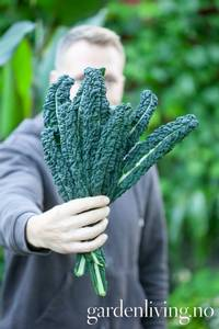 Bilde av Grønnkål 'Black Magic' - Brassica oleracea
