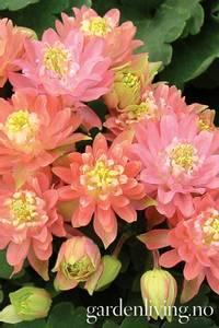 Bilde av Akeleie 'Clementine Salmon Rose' - Aquilegia