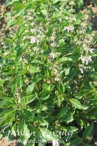Bilde av Basilikum 'Lime' - Ocimum americanum