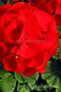 Bilde av Pelargonium 'Bulls Eye Scarlet'