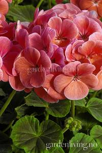 Bilde av Pelargonium 'Bulls Eye Salmon'
