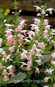 Bilde av Salvie 'Summer Jewel Pink' - Salvia coccinea