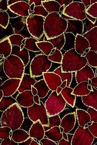 Bilde av Praktspragle 'Wizard® Scarlet' - Solenostemon blumei