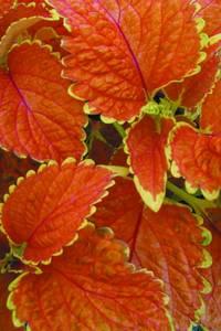 Bilde av Praktspragle 'Wizard® Sunset' - Solenostemon blumei