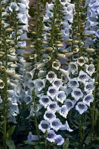Bilde av Revebjelle 'Camelot Lavender' - Digitalis purpurea