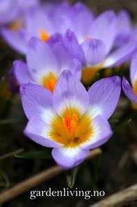 Bilde av Gresk krokus 'Tricolor' - Crocus sieberi - 25 stk