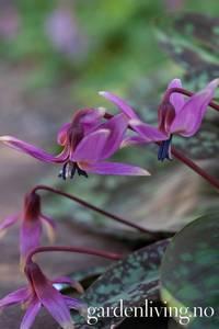 Bilde av Hundetann - Erythronium 'Purple King' - 1 stk (Sen