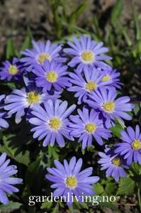 Bilde av Balkansymre  'Blue Shades' - Anemone blanda - 20 stk