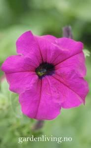 Bilde av Petunia 'Lady Purple' F1