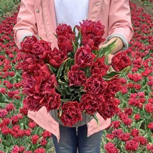 Bilde av Tulipan 'Cranberry Tristle', Frynsetulipan - 10 stk