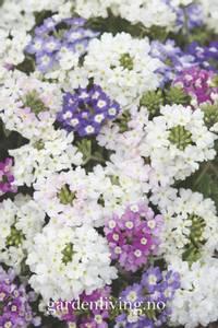 Bilde av Verbena 'Scentsation Mixed' - Verbena x hybrida
