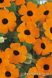 Bilde av Vingethunbergia 'Susi Orange Black Eye'