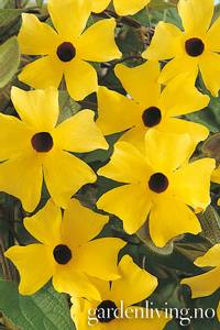 Bilde av Vingethunbergia 'Susi Yellow Black Eye'