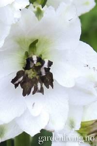 Bilde av Ridderspore 'Magic Fountains White/Dark Bee' - Delphinium