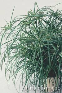 Bilde av Skjermkypergress 'Zumula' - Cyperus prolifer