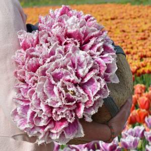 Bilde av Tulipan 'Hawaii', Frynsetulipan - 10 stk