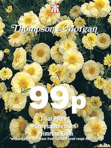 Bilde av Kronkrage 'Primrose Gem' - Chrysanthemum coronarium