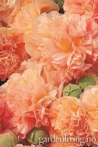 Bilde av Stokkrose 'Chater's Double Apricot' - Alcea rosea