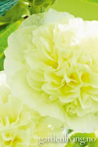 Bilde av Stokkrose 'Chater's Double Yellow' - Alcea rosea