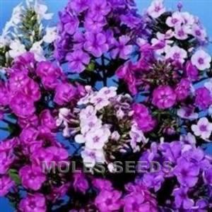 Bilde av Høstfloks 'New Hybrids Mixed' - Phlox paniculata