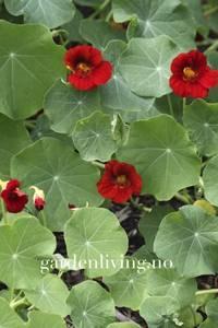 Bilde av Blomkarse 'Mahogany Gleam' - Tropaeolum majus