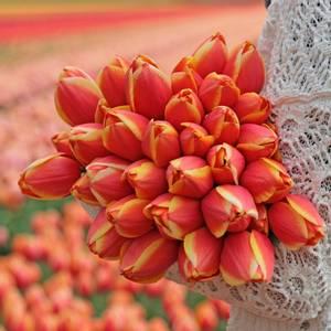 Bilde av Tulipan 'Royal Ad Rem', Darwinhybrid - 10 stk