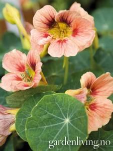 Bilde av Blomkarse 'Ladybird Rose' - Tropaeolum majus
