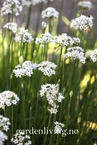 Bilde av Løk, Gress- Kinesisk - Allium tuberosum