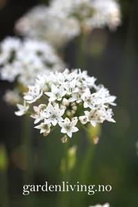 Bilde av Kinesisk gressløk - Allium tuberosum
