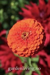 Bilde av Sinnia 'Orange King'