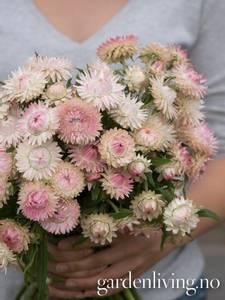 Bilde av Høststråblomst 'Silvery Rose' - Xerochrysum bracteatum