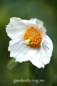 Bilde av Valmuesøster, blå-  'Alba' - Meconopsis baileyi
